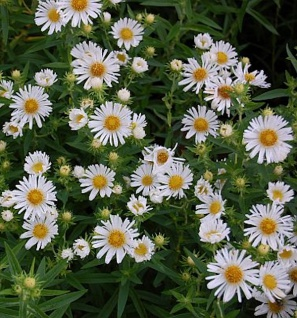 Rauhblattaster Herbstschnee - Aster novae angliae