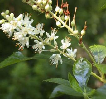 Silberkerzenstrauch Hummingbird 40-60cm - Clethra alnifolia - Vorschau
