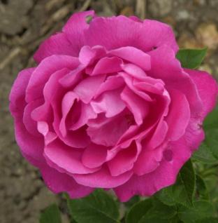 Historische Rose Ulrich Brunner Fils 30-60cm