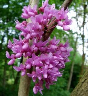 Kanadischer Hänge Judasbaum Lavender Twist 80-100cm - Cercis canadensis