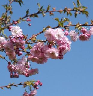 Blut Nelkenkirsche 80-100cm - Prunus serrulata