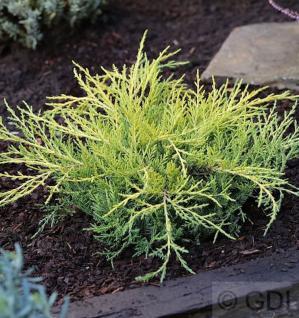 Gelber Strauchwacholder Golden Saucer 20-25cm - Juniperus media