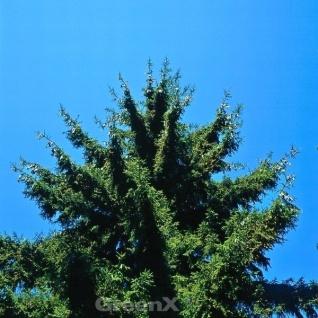 Orientalische Hänge Fichte Nutans 50-60cm - Picea orientalis
