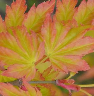 Fächerahorn Little Princess 40-60cm - Acer palmatum