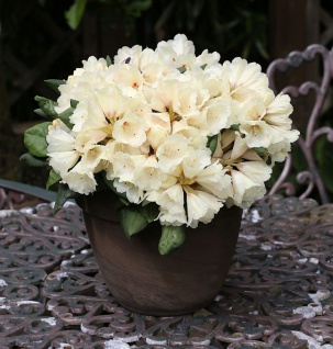 INKARHO - Rhododendron Frühlingsgold 40-50cm - Alpenrose