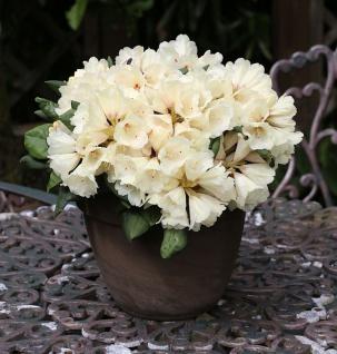 INKARHO - Rhododendron Frühlingsgold 70-80cm - Alpenrose