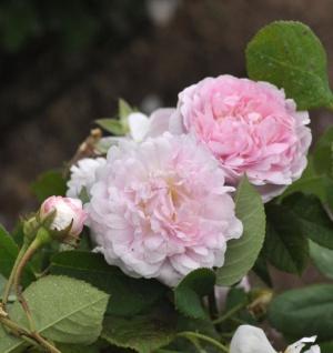 Historische Rose Duchess de Montebello 30-60cm