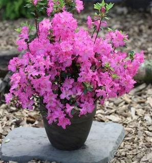 Japanische Azalee Petticoat® 15-20cm - Rhododendron obtusum - Zwerg Alpenrose