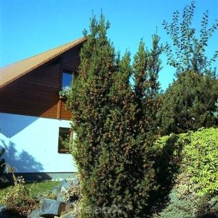 Eibe Hillii 80-100cm - Taxus media