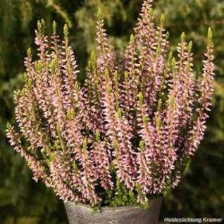 10x Knospenheide Gardengirls Pink Alica - Calluna vulgaris