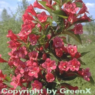 Weigelie Bristol Ruby 100-125cm - Weigela
