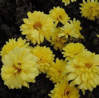 Winteraster Juno - Chrysanthemum hortorum