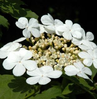Gemeiner Schneeball 100-125cm - Viburnum opulus