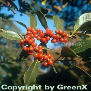 Fruchtende Stechpalme Ilex 60-80cm - ilex aquifolium