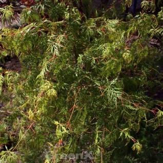 Schlitzfächerahorn Emerald Lace 100-125cm - Acer palmatum