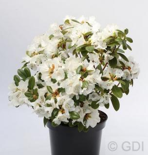 Duftende Rhododendron Snow Lady 25-30cm - Rhododendron leucaspis