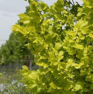Goldulme 125-150cm - Ulmus carpinfolia