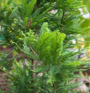 Hochstamm Zwerg Sumpfzypresse 80-100cm - Taxodium distichum