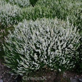 10x Besenheide Spring Cream - Calluna vulgaris