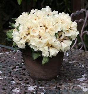 INKARHO - Rhododendron Frühlingsgold 15-20cm - Alpenrose