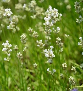 Echter Lavendel Nana Alba - Lavandula angustifolia