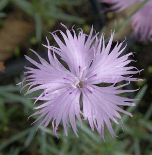 Pfingstnelke Rosafeder - Dianthus gratianopolitanus