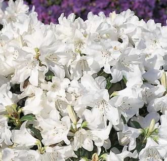 Japanische Azalee Dora Amateis 25-30cm - Rhododendron carolinianum