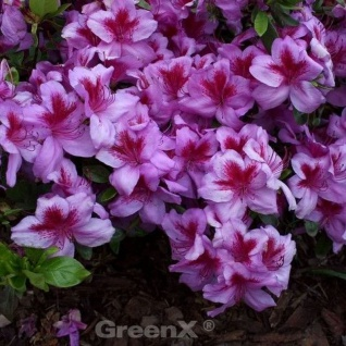 Japanische Azalee Peppina® 30-40cm - Rhododendron luteum - Zwerg Alpenrose