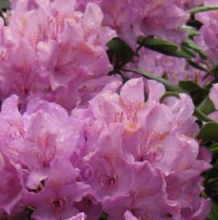 INKARHO - Großblumige Rhododendron Caroline Spring 25-30cm - Alpenrose