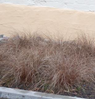 Segge Bronze - Carex comans