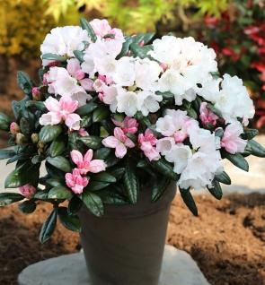 Rhododendron Hydon Velvet 40-50cm - Rhododendron bureavii