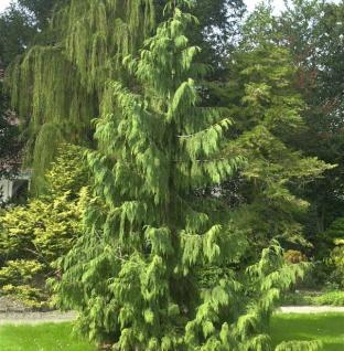 Mähnenzypresse 30-40cm - Chamaecyparis nootkatensis