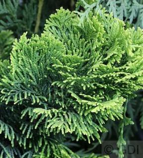 Gelbe Zwerg Muschelscheinzypresse 10-15cm - Chamaecyparis obtusa