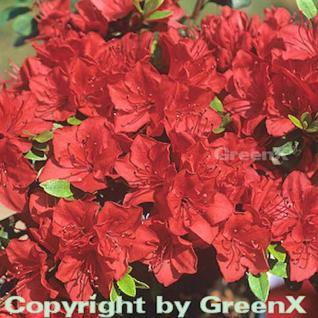Japanische Azalee Fridoline 30-40cm - Rhododendron obtusum - Zwerg Alpenrose