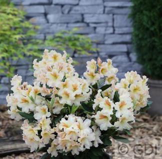 Großblumige Rhododendron Spiegelei 50-60cm - Alpenrose