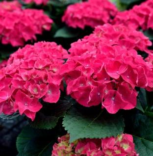 Bauernhortensie Speedy Red 40-60cm - Hydrangea paniculata
