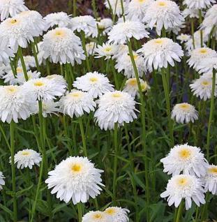 Gartenmargerite Stina - Leucanthemum superbum
