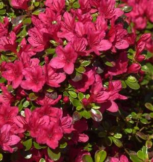 Japanische Azalee Hino Crimson 15-20cm - Rhododendron obtusum - Zwerg Alpenrose - Vorschau