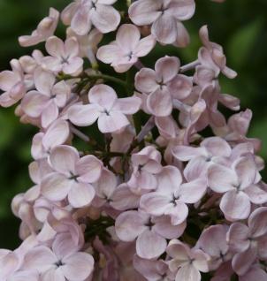 Edelflieder Rosenrot - Kircher-Collection 30-40cm - Syringa hyacinthiflora