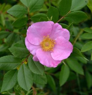 Glanzblättrige Rose 40-60cm - Rosa nitida