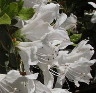 Japanische Azalee Eisprinzessin® 25-30cm - Rhododendron obtusum - Zwerg Alpenrose