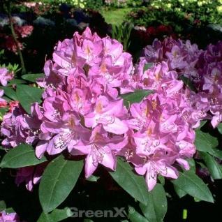 INKARHO - Großblumige Rhododendron Roseum Elegans 25-30cm - Alpenrose