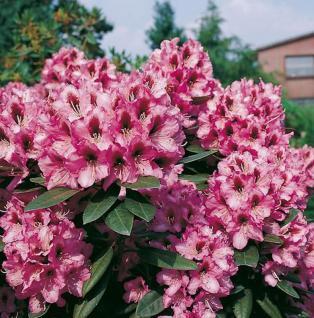 INKARHO - Großblumige Rhododendron Kokardia 40-50cm - Alpenrose