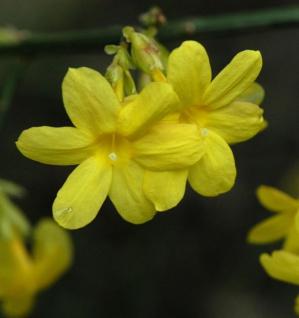 echter Winter Jasmin 80-100cm - Jasminum nudiflorum