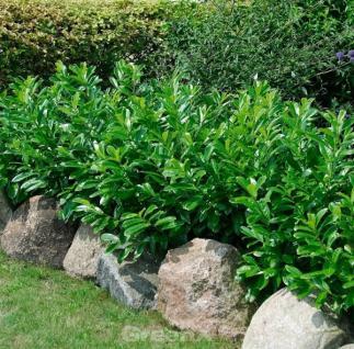 Kaukasische Lorbeerkirsche 125-150cm - Prunus laurocerasus