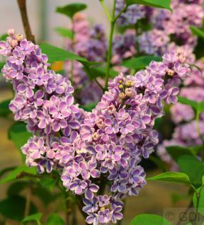 Edelflieder Sensation 60-80cm - Syringa vulgaris