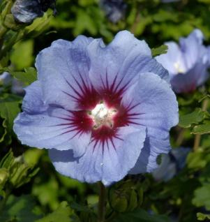 Hochstamm Garteneibisch Coelestis 80-100cm - Hibiscus syriacus