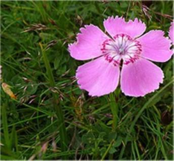 Alpen Nelke - Dianthus alpinus