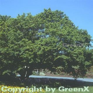 Fächer Ahorn 125-150cm - Acer palmatum - Vorschau
