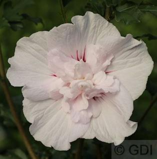Garteneibisch French Cabaret Pastel 80-100cm - Hibiscus